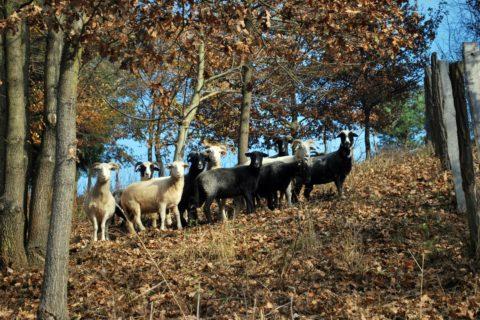 Schafe6bearbeitet